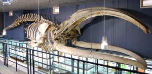 groenlandse walvis website